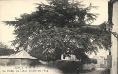 Carte postale du cèdre du Liban planté à Torcy en 1834