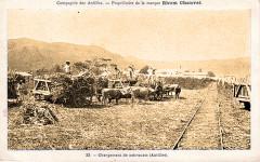 Martinique Chargement de la canne à sucre