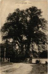 Laferte sur Aube - Orme - Laferté-sur-Aube