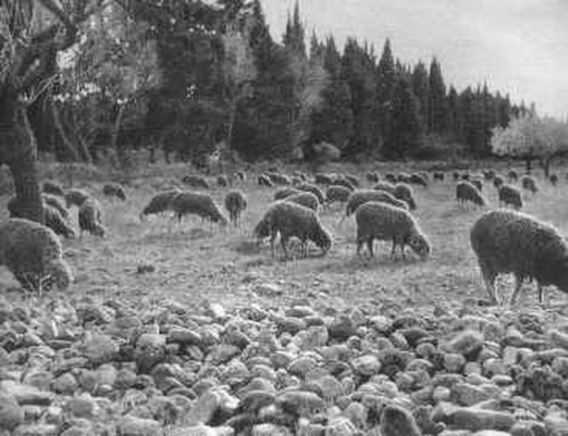 Carte postale ancienne Troupeau de moutons dans la plaine de Crau à