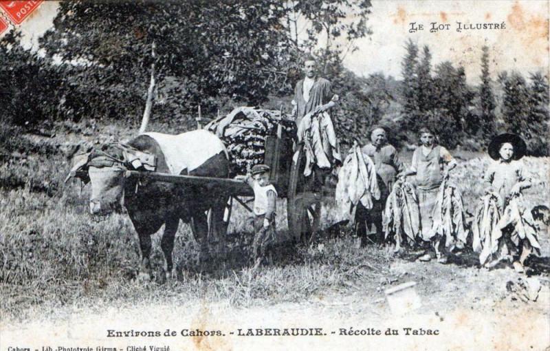 Carte postale ancienne Environs De Cahors Laberaudie Recolte Du Tabac (GROS Plan Superbe Cpa à Cahors